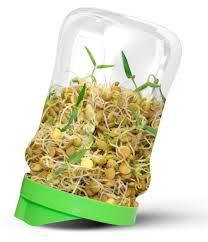 Зерна, как их прорастить