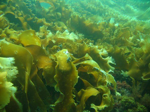 ламинария в воде