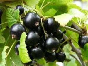Уже созрела ценная для здоровья ягода - черная смородина.