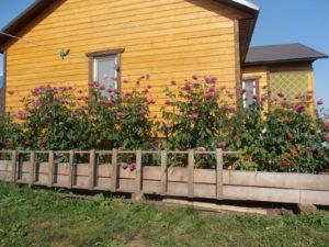 Бордовые цветы георгинов растут высоко