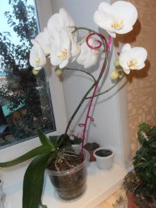 Лилия, определенно знает, как ухаживать, чтобы цветок цвел всегда.